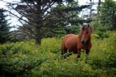 Mount Rogers Wild Pony, appalachian trail